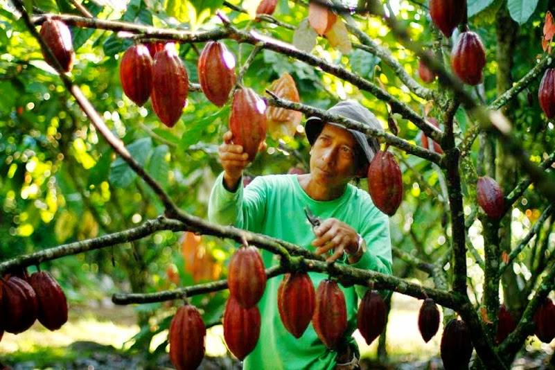 Cacao pods are harvested manually. Making chocolates is hard work but definitely worth it.