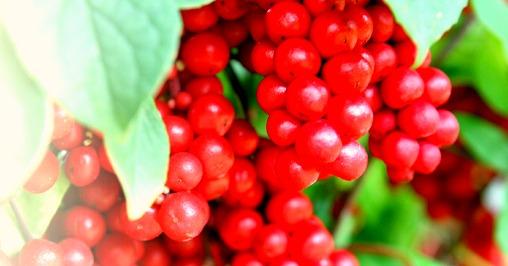 omija-berry