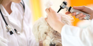 Dog_Ear_Infections